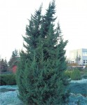 Juniperus chinensis 'Monarch'  C3  40-60 cm